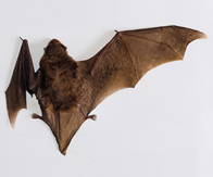 UCT scientists uncover the genomic blueprint of bat wing development