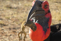 How satellites could save southern ground hornbills